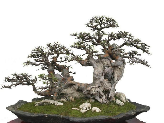 榕树盆景在家养好吗 能调风水吗?