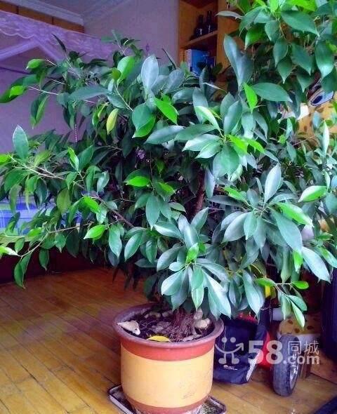 榕树盆栽在家里会有什么风水的好处吗