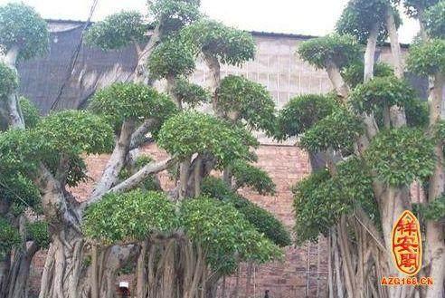 室内盆景榕树是摇钱树吗?风水上好吗?