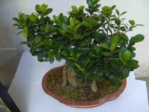 盆栽风水知识:家里种人参榕树好吗?