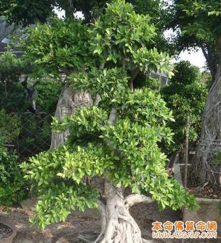 家里大门口种榕树盆景树 风水好么?
