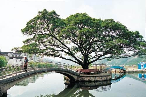 办公桌上摆放榕树盆景 风水上有什么讲究