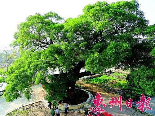 栽培榕树盆景对本人风水如何?