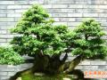 榕树盆景水庭院布局和禁忌