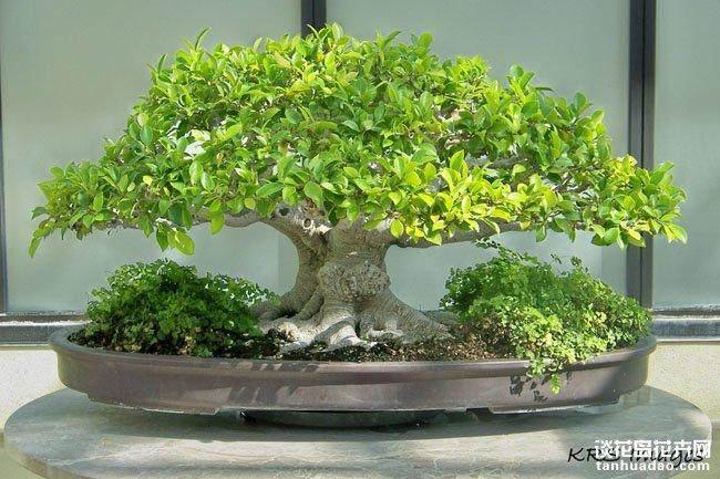马来西亚种出世界最小盆景园
