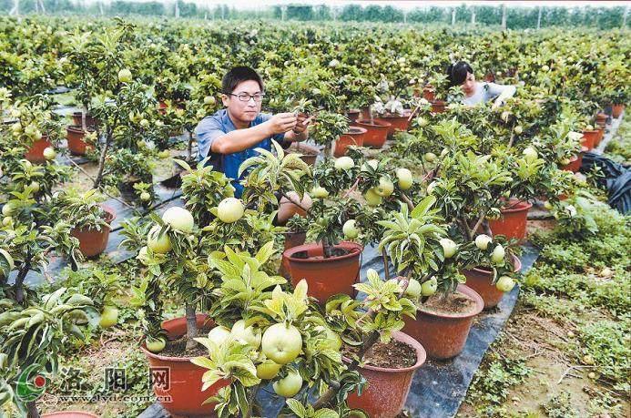 果树盆景的市场潜力很大