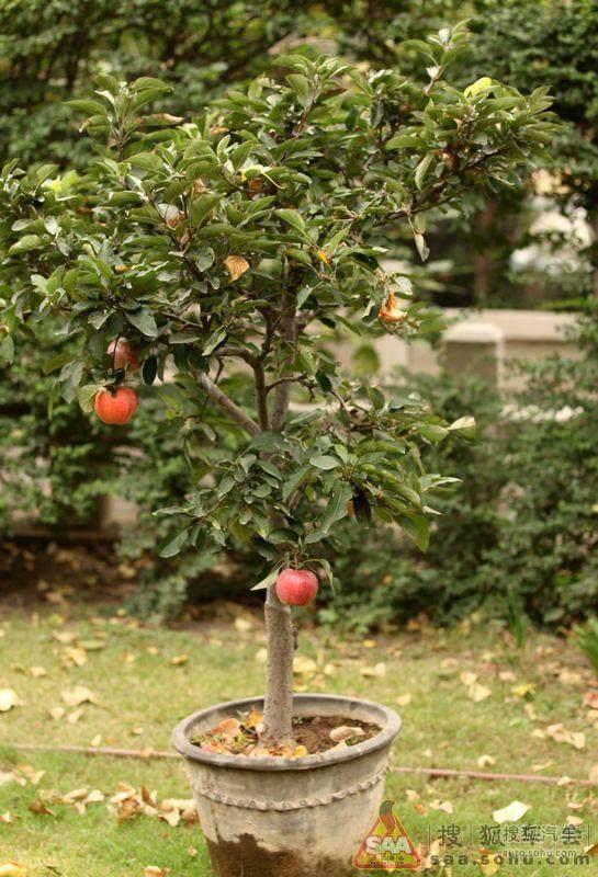 """""""袖珍""""果树盆景初步定价在2000至5000元一盆"""
