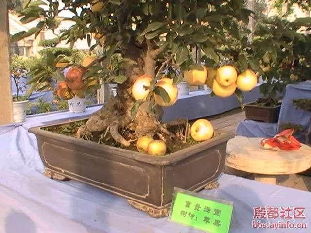 果树盆景可以四季开花