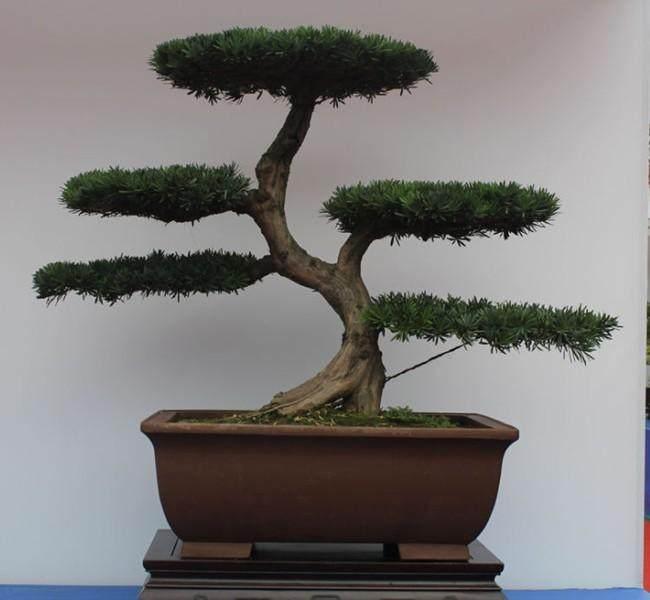 """2013""""大青城""""川派盆景艺术节开幕"""
