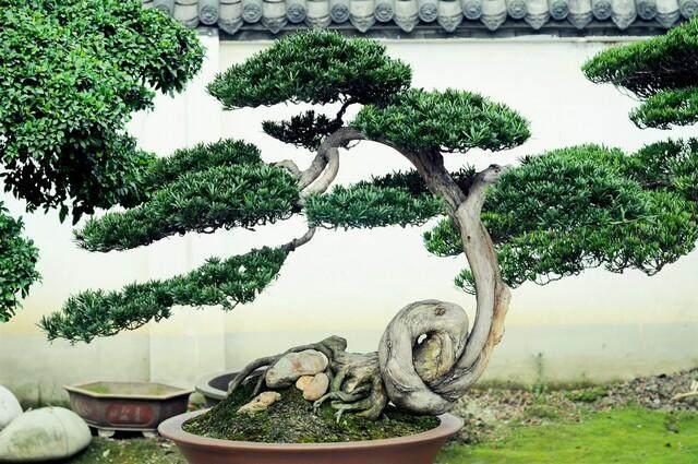 川派盆景:数百盆景园 深藏花木中