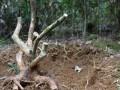 对节白蜡树桩盆景制作入门方法 图片
