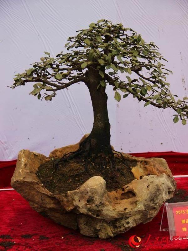 贵州遵义2015国庆盆景展开展