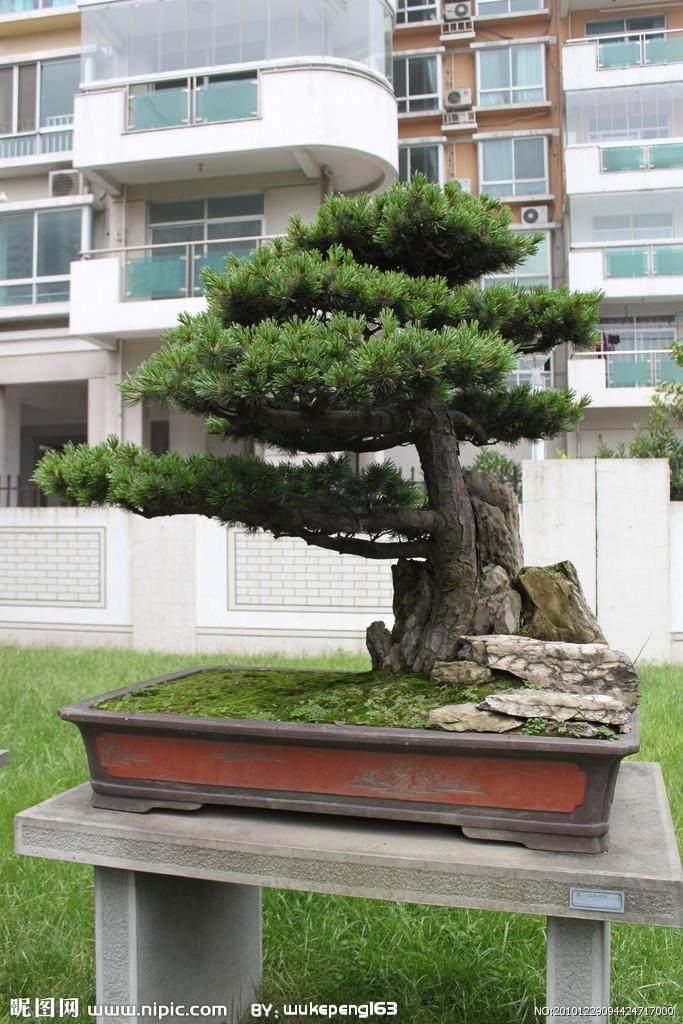 日本五针松盆景怎么修剪整形的方法