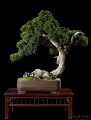 4566 真柏 舍利干式  估价RMB: 60,000-80,000