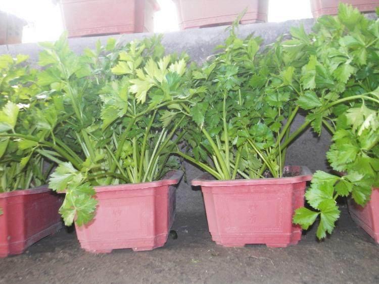 盆景蔬菜在北京盆景市场热销