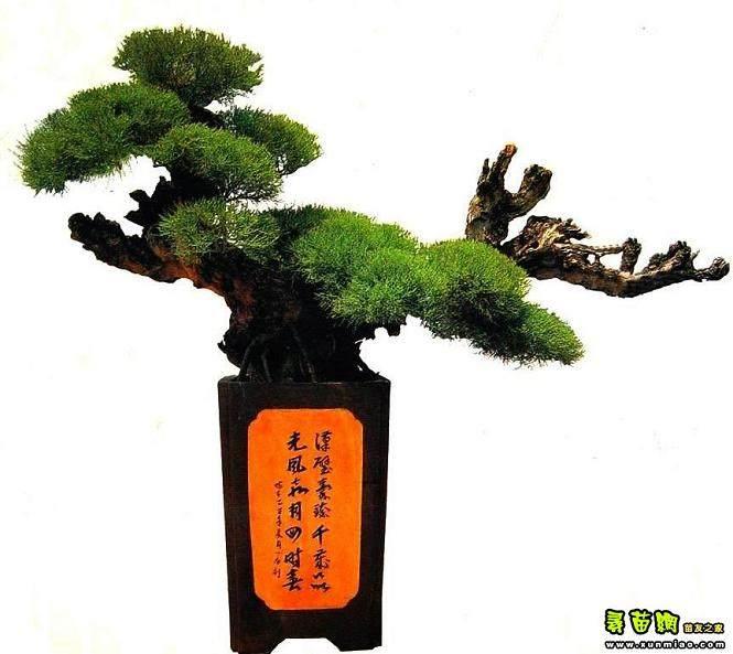 什么树桩造型盆景适合种在户外?