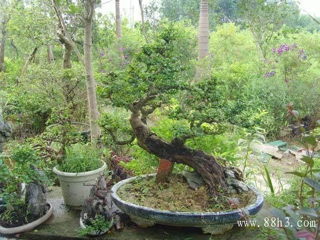 盆栽茶花适合户外 还是阳台