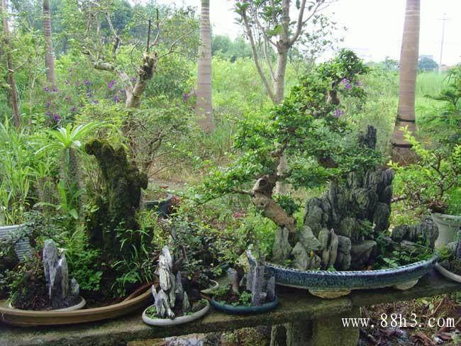 枫树盆景移植户外能长大吗