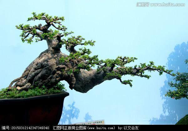 松树盆景放室内对风水好吗?
