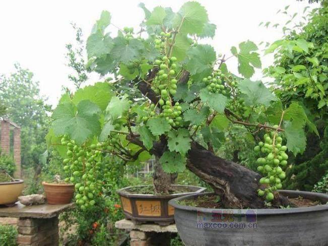 家中养葡萄盆景 对风水好吗?
