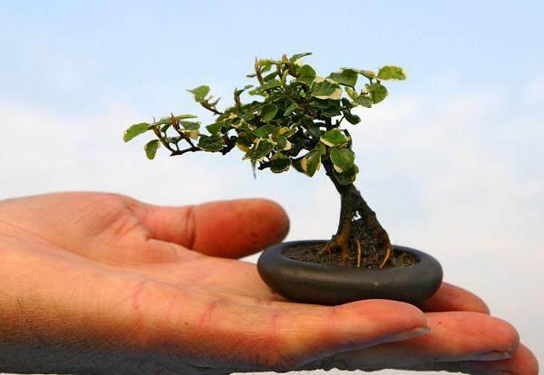 上海制作的微型盆景 在荷兰每盆可卖到30美元