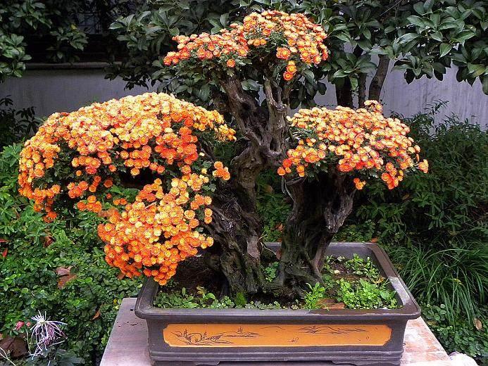 唐山举办菊花盆景展