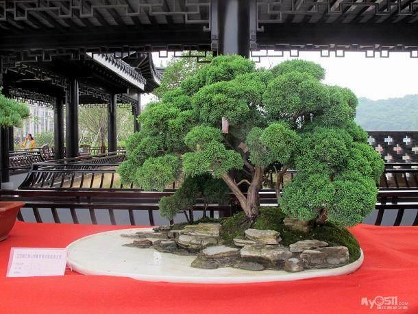 红花檵木盆景亮相镇江