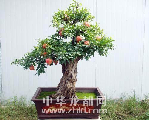 镇平县举办中州盆景学会揭牌仪式