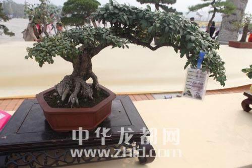河南郑州将中州盆景研会
