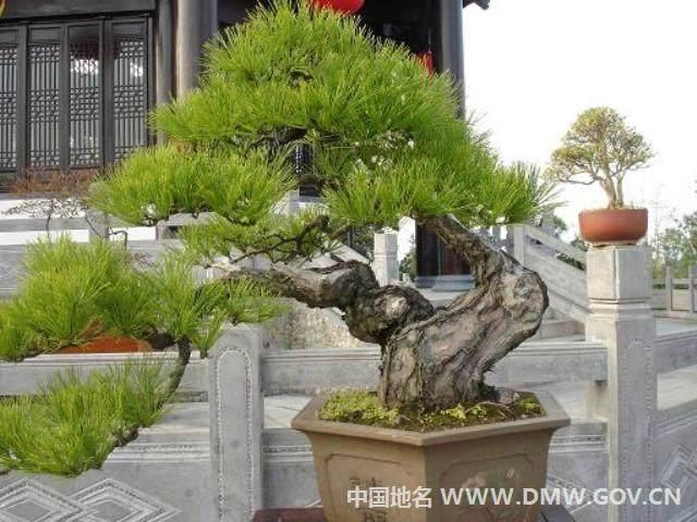 歙县是徽派盆景的发祥地 盆景栽培有1000多年历史