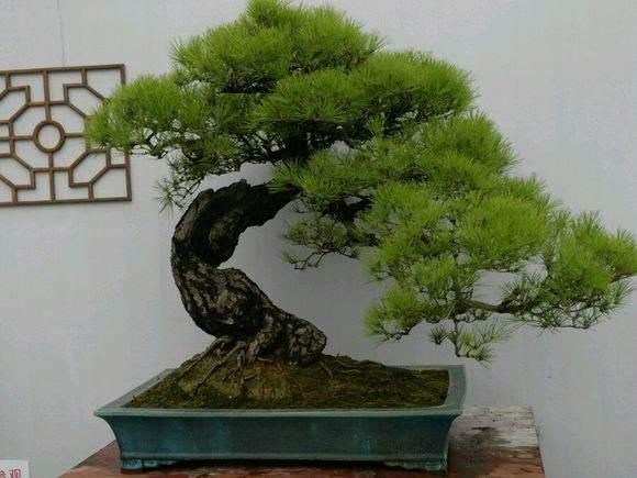 中国盆景五大流派之一广州岭南盆景