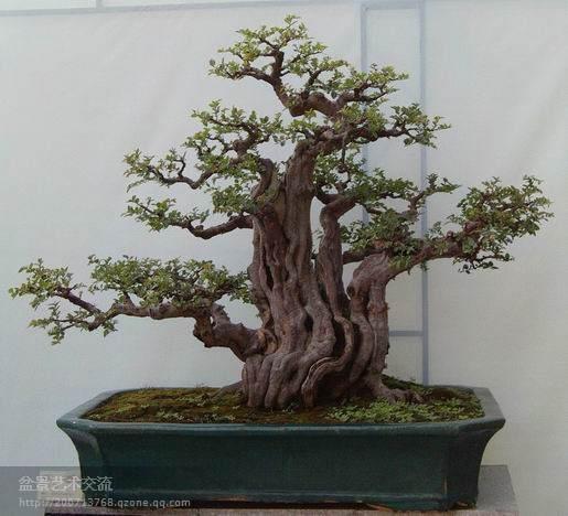 广州盆景协会主办的2011年盆景赏石精品展