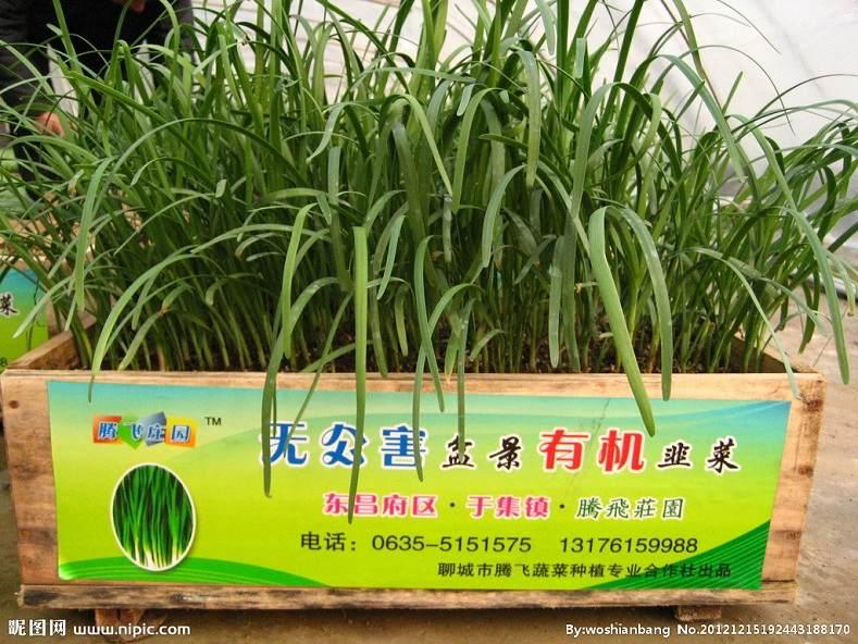 潍坊大棚里栽起了盆景韭菜 可卖到60至80块钱