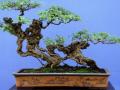 松柏类树桩盆景怎样采挖与养护