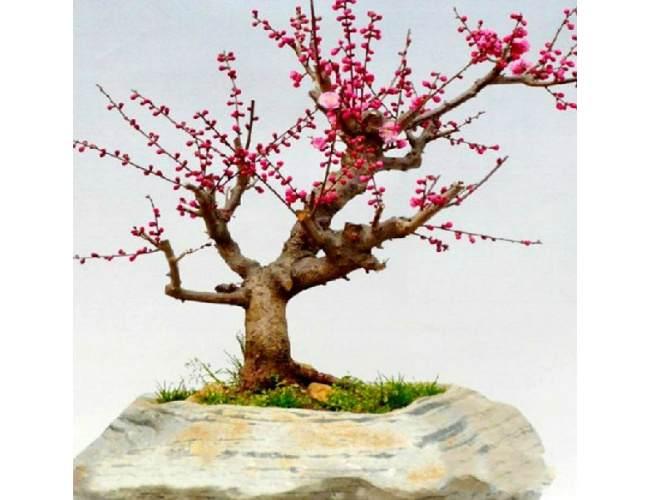 市民孙先生养了10多年的一盆梅花盆景被偷