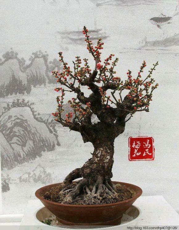 台州梅花盆景红火登场上海