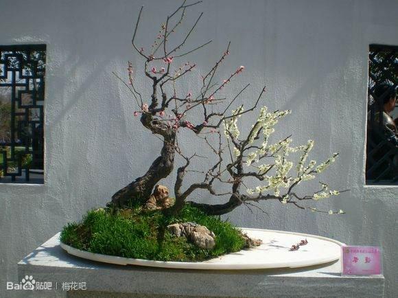 中国第十二届梅花盆景展