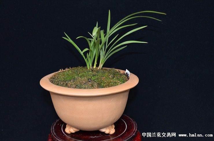 浙江哪里有兰花盆景出售?最新兰花盆景批发多少钱?