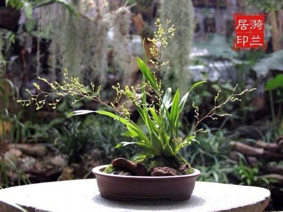定安的盆景兰花出口日本