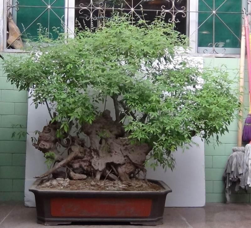 济南:一古侧柏松树盆景打出了100万元的天价
