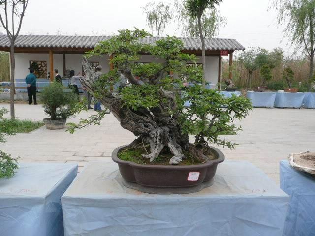 2012年初郑州盆景树桩市场红火