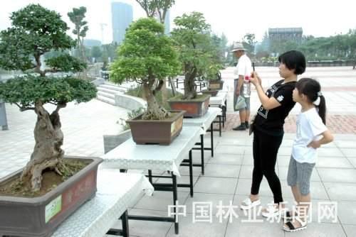 郑州市盆景协会副会长型的柽柳盆景