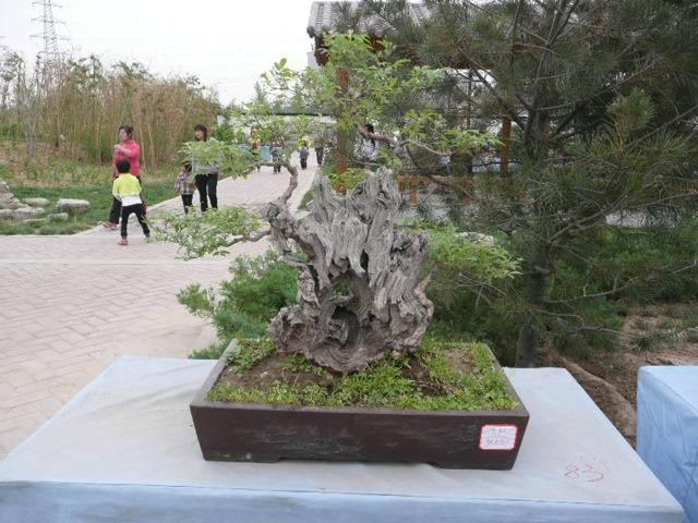 郑州果树盆景课题组