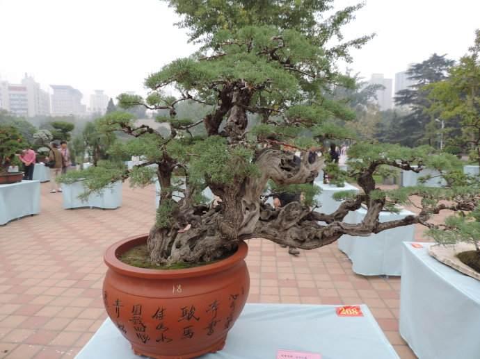 郑州盆景桩材受欢迎