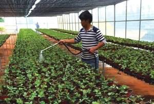 滇产欧洲阳台盆栽月季种苗批量上市