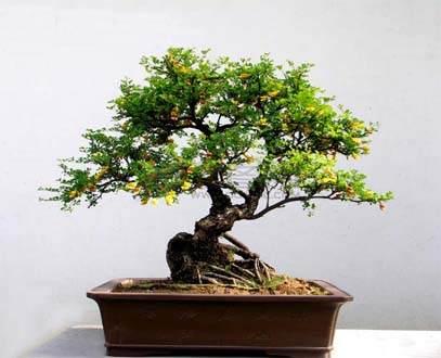树桩榕树盆景如何施肥?