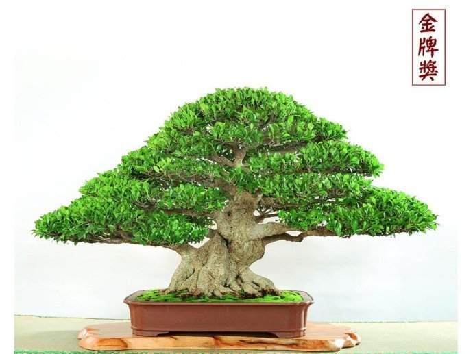 榕树树桩盆景常见技术问题有哪些?