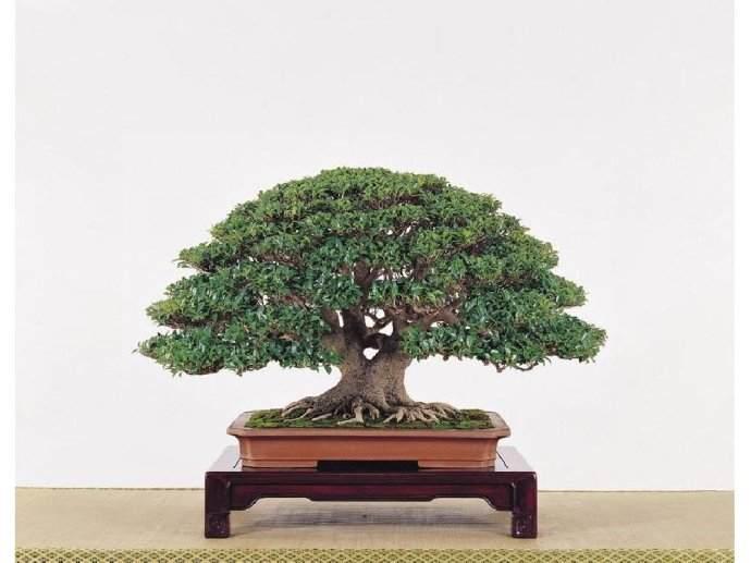 苗木品种名称:榕树盆景市场前景