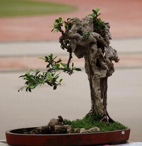 榕树盆景栽培技术标准