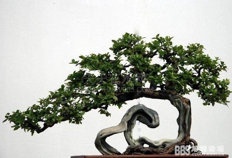 榕树盆景的花盆中有很多白的小虫 怎么办?